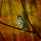 The American Robin by swaby