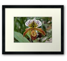The Solo Tiger Orchid Framed Print