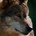 Wolf Portrait by JMChown