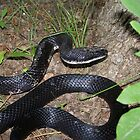 Black Rat Snake by Unconventional