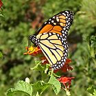 Monarch Butterfly I by Unconventional