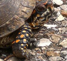 Three-Toed Ornate Box Turtle I by Unconventional