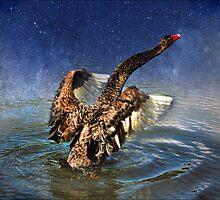 australian black swan by carol brandt