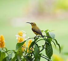 Mellow Yellow - sunbird by Jenny Dean