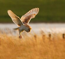 Hunting Barn Owl by Nigel Tinlin