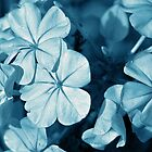 Blue Plumbago - monotone by PhotosByHealy