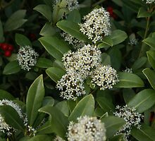 Holly Bush in Bloom by Loisb