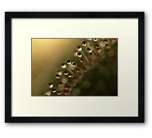 Evening Sundew Framed Print