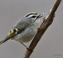 Golden-crowned Kinglet by Michaela Sagatova