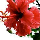 Red Hibiscus by Jason Dymock