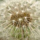 Dandelion by Jason Dymock Photography