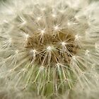 Dandelion by Jason Dymock Photography