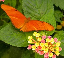 Orange butterfly( Dryas iulia ) by angeljootje