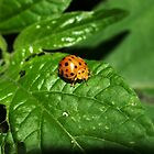 Fake Lady Beetle by Jason Dymock