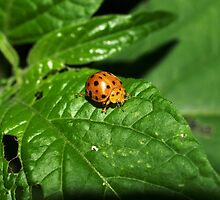 Fake Lady Beetle by Jason Dymock Photography