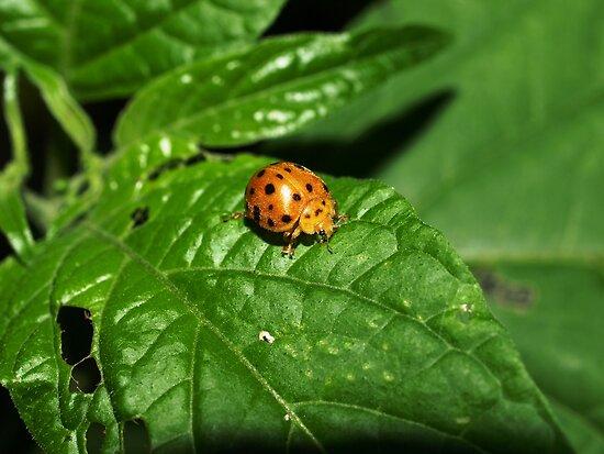 Fake Lady Beetle by Jason Dymock Photography