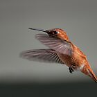 Rufous Hummingbird Flying - Female by deze