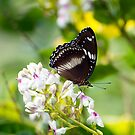 Sunshine - common eggfly butterfly  by Jenny Dean