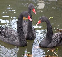 Three Black Swans by Lin Taylor