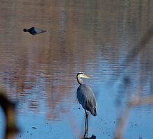 Great Blue Heron by KateCraig