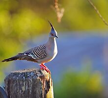 Crested Pigeon On Gate Post To The Back Paddock. Brisbane, Queensland, Australia. by Ralph de Zilva