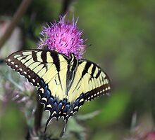 Female Eastern Tiger Swallowtail by RebeccaBlackman