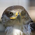 Ferruginous Hawk by Alyce Taylor