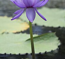 Water Lily by triciaoshea