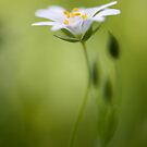 Stitchwort by Mandy Disher
