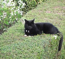Our Cat on top of a hedge by mike421