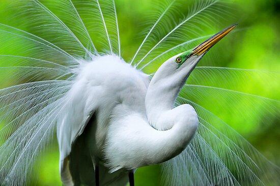 Breeding Egret Eye to the Sky by Joe Jennelle