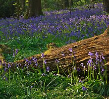 An English woodland in spring by Shaun Whiteman