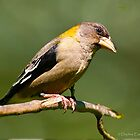 Evening Grosbeak by deze