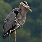 Great Blue Heron In the Rain by deze