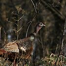 Female Wild Turkey by swaby