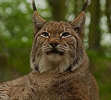 Eurasian Lynx at Dudley Zoo by JMChown