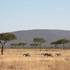 Plains Zebra, in the landscape, Serengeti National Park, Tanzania by Carole-Anne