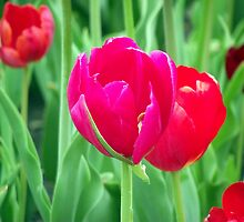 Pink Tulips by ebred