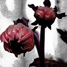 Coloured Bud series, magenta version by Alayna de Graaf Photography