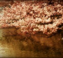 cherry blossoms over the water ~ tokyo by marke auvinen