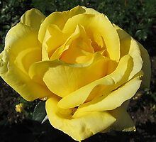 Yellow Rose of Ohio by Monnie Ryan