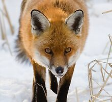 Winter Red Fox by Nigel Tinlin