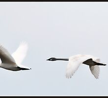 Trumpeter Swans Flying by Daphne Eze