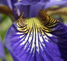 Purple Iris by Amanda Spencer