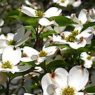 Dogwood In bloom by Nancy Richard