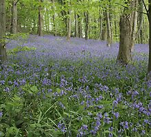 Bluebell wood by Jane Corey