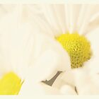 Daisies Soft and Warm Greeting Card by Susan Gottberg