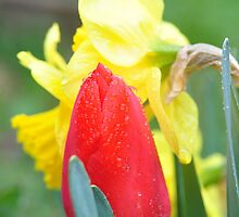 Tulip and daffodil in the rain by mltrue