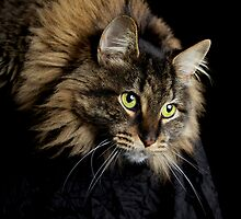 Coon Cat Staring Down by RandiScott