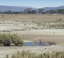 Thomson's Gazelles in the landscape, Serengeti, Tanzania.  by Carole-Anne